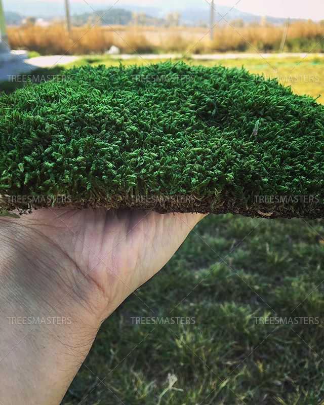 Плоский мох