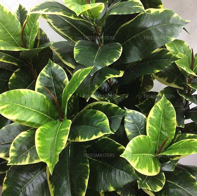 Большие листья искусственного пестролистного Фикуса